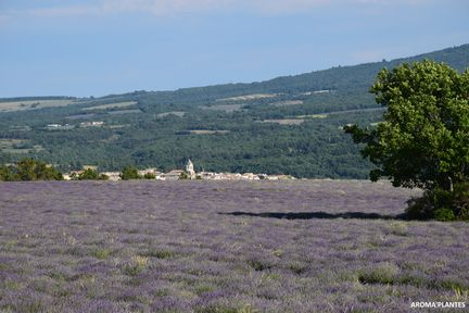 Champ de lavande officinale devant le village de Sault - Photo Aroma'plantes