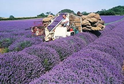 Norfolk Lavender - Caley Mill - Heacham -Norfolk